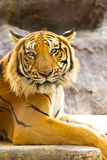 Golden tiger Stock Photo