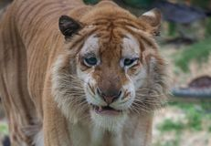 Golden tiger. A golden tiger focus at the camera royalty free stock photo