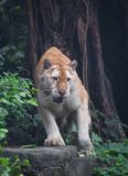 Golden tiger. A golden tiger focus at the something royalty free stock photo