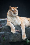Golden tiger. Portrait of a rare golden tiger in zoo royalty free stock photo