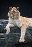 Golden tiger. Portrait of golden tiger in zoo royalty free stock photos