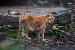 Golden tiger. A rare golden tiger focus at something royalty free stock photo
