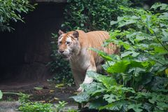 Golden tiger. A rare golden tiger focus at something stock photos