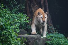 Golden tiger Royalty Free Stock Image