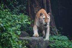 Golden tiger. A rare golden tiger focus at something Royalty Free Stock Image