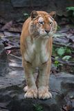 Golden tiger. A rare golden tiger focus at something stock photos