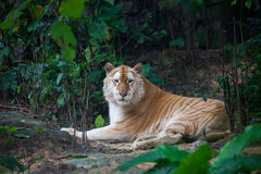 Golden tiger. A rare golden tiger in zoo Royalty Free Stock Photo