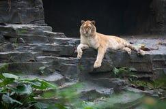 Golden tiger. A rare golden tiger in zoo Royalty Free Stock Photos