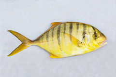 Golden toothless trevally Stock Photo
