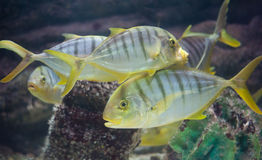 GOLDEN TOOTHLESS TREVALLY Royalty Free Stock Images