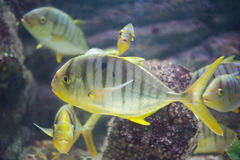 GOLDEN TOOTHLESS TREVALLY Stock Images