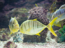 GOLDEN TOOTHLESS TREVALLY Royalty Free Stock Photography