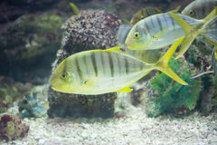 GOLDEN TOOTHLESS TREVALLY Stock Photos