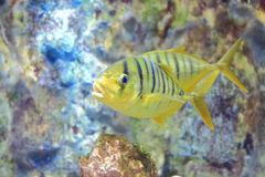 Golden toothless trevally. The image of the golden toothless trevally in aquarium Stock Photo