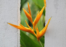 Golden Torch Flower Stock Image