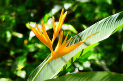 Golden Torch Heliconia on natural green background. Royalty Free Stock Photography