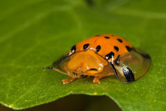 Golden tortoise beetle Stock Photos