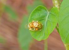 Golden tortoise beetle  hybridize on green leaf at night scene Stock Photos