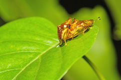 Golden tortoise beetle  hybridize on green leaf at night scene Royalty Free Stock Photos