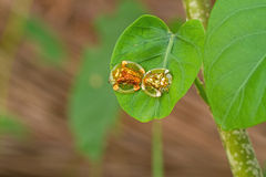 Golden tortoise beetle  hybridize on green leaf at night scene Royalty Free Stock Images
