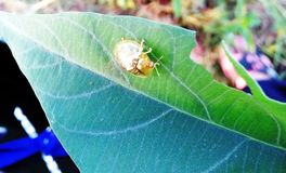 Golden Tortoise Beetle in a leaf Stock Photo