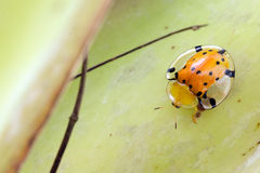 Golden tortoise bug Royalty Free Stock Photography