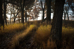 Golden Trails. Trail of golden grass through autumn woods Stock Images