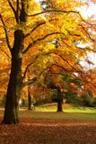 Golden tree. Golden beech tree in the park on a sunny afternoon Royalty Free Stock Photo