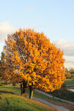 Golden tree Royalty Free Stock Images