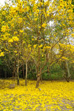 Golden Tree. A Big Golden Tree yellow flower Royalty Free Stock Photography