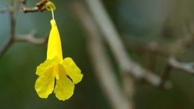 Golden Tree flower senescence stock video footage