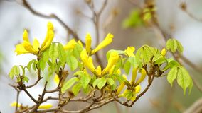 Golden tree flower with the young leaf stock footage
