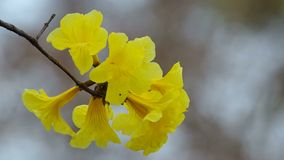 Golden Tree flowers close up stock footage