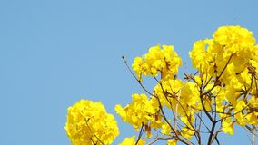 Golden tree flowers are shaking stock video footage