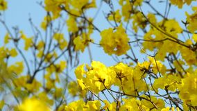 Golden tree flowers are shaking stock footage