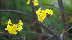Golden Tree flowers and wind stock video footage