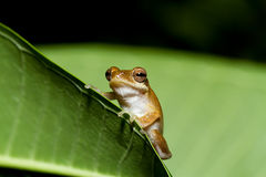 Golden tree frog Royalty Free Stock Photography