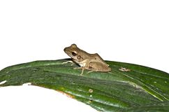 Golden Tree Frog Royalty Free Stock Photo