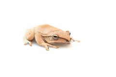 Golden Tree Frog Royalty Free Stock Images
