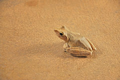 Golden tree frog Stock Photography
