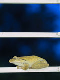 Golden Tree Frog Perched on Steel Royalty Free Stock Photography