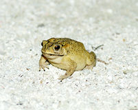 Golden Tree Frog on sand Royalty Free Stock Images