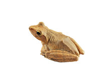 Golden tree frog Stock Photos