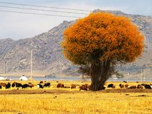 Golden Tree Grassland with Cows in Autumn Royalty Free Stock Photos