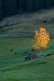 Golden tree and grazing cows. Autumn landscape in the mountains Stock Photos