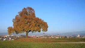 Golden tree on a hill in Wetzikon, Switzerland, Autumn scene. Royalty Free Stock Photo