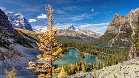 Golden Tree of Lake O`Hara Royalty Free Stock Images