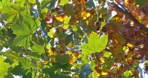 Golden Tree Leaves In Autumn. Season stock footage