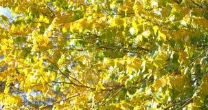 Golden Tree Leaves In Autumn. Season stock video footage