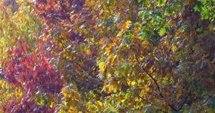 Golden Tree Leaves In Autumn. Season stock video